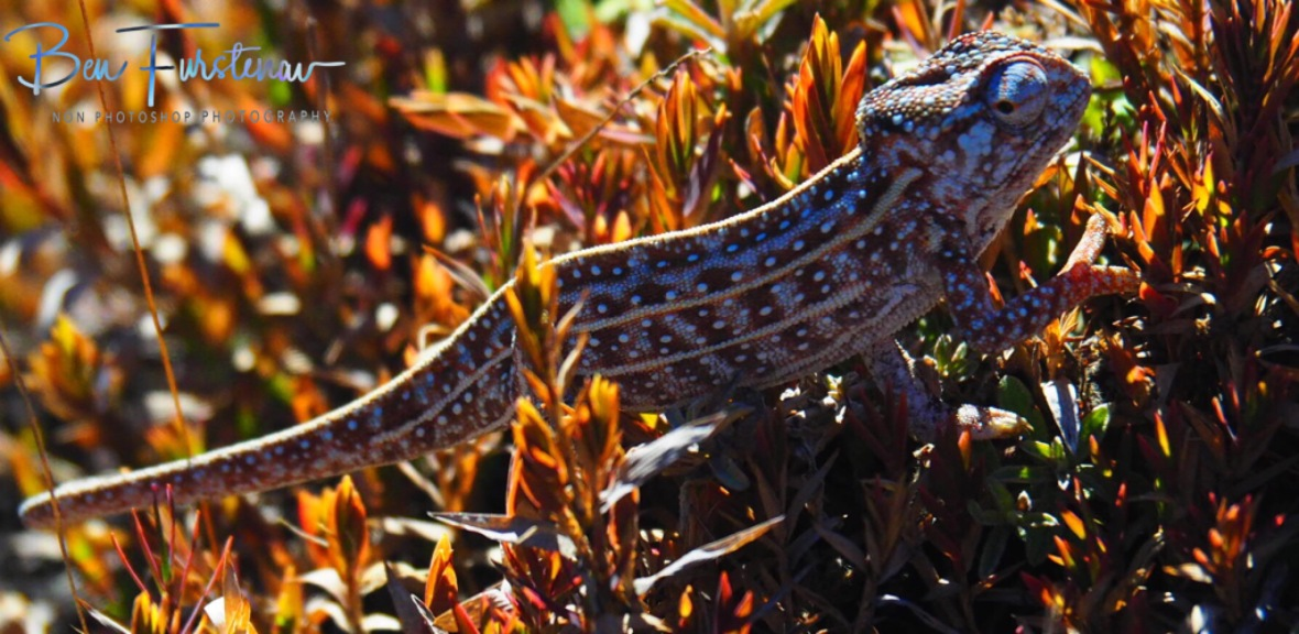 A rare alpine chameleon