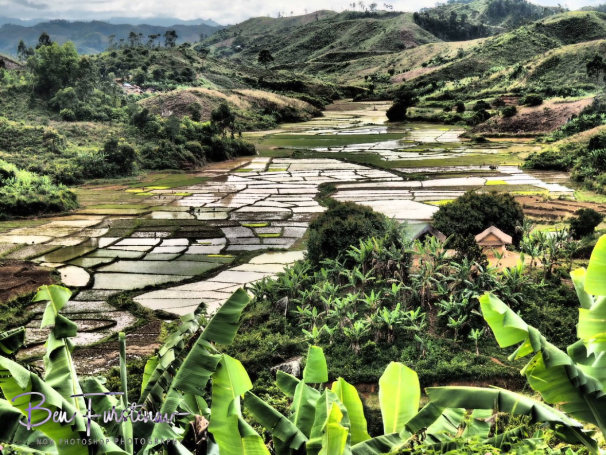 Lush rice fields and banana plantation