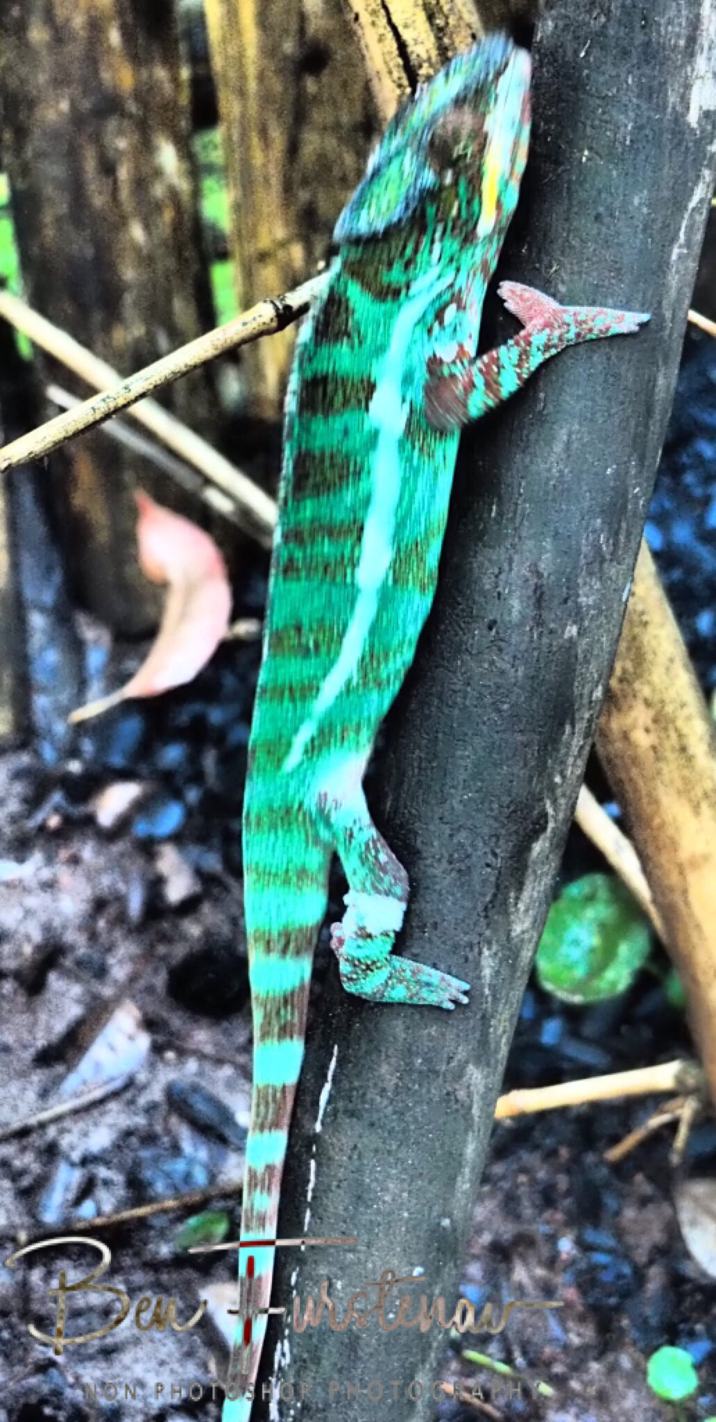 Colourful chameleon