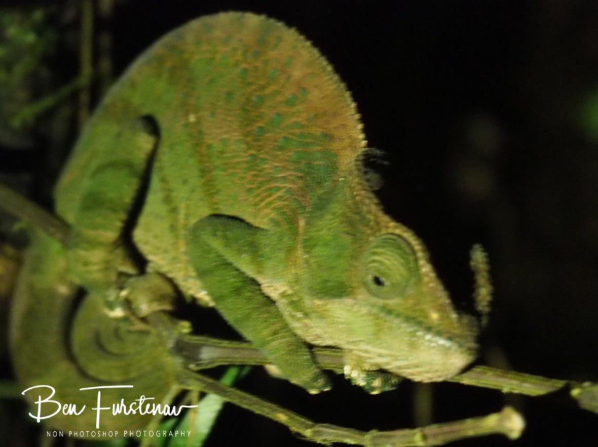 Rhinozeros chameleon