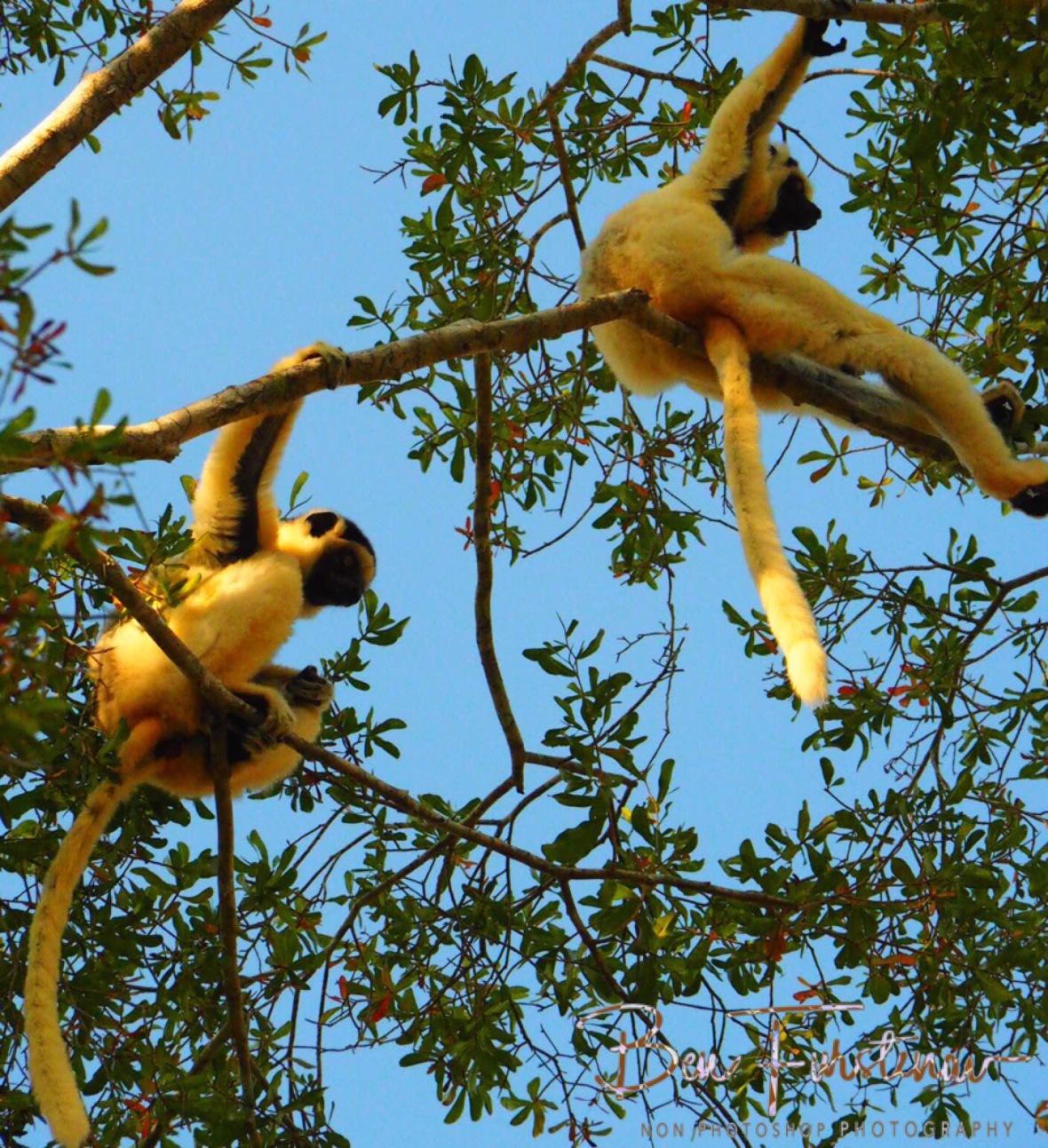 Shifakas in tree tops