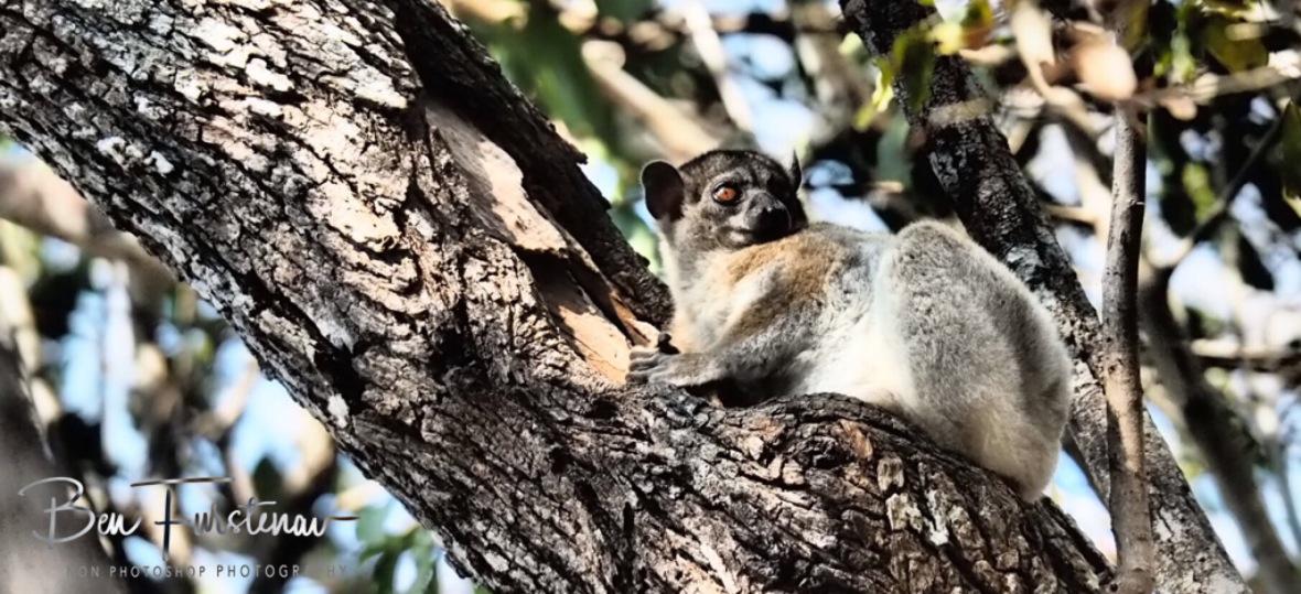 Nocturnal Lemur escaping hot borrow