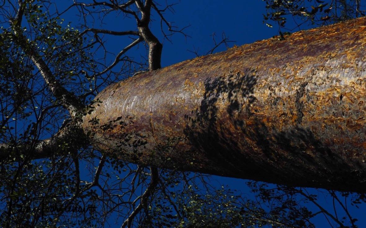 Sun reflecting baobab tree under blue skies