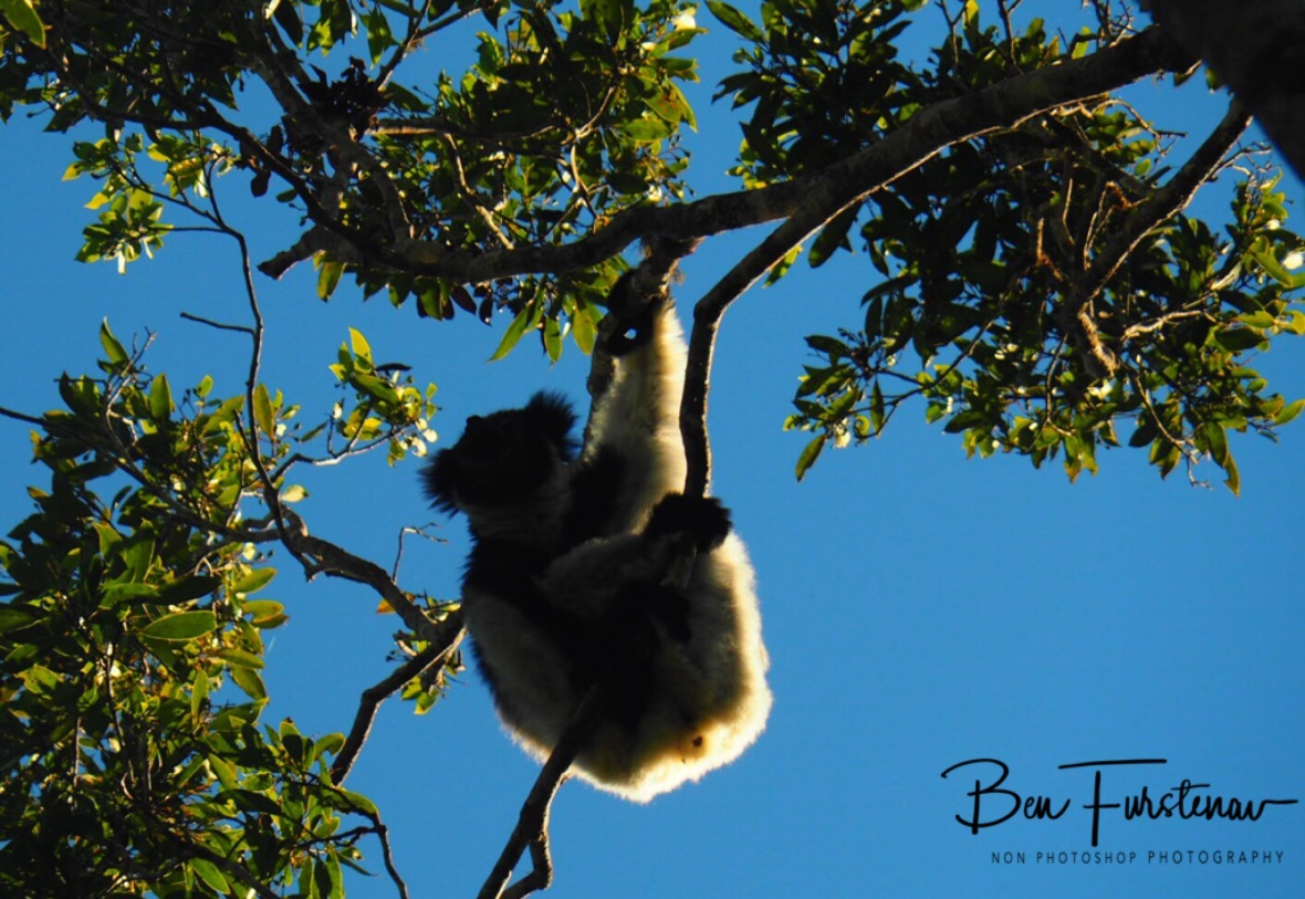 Indri High in Tree tops