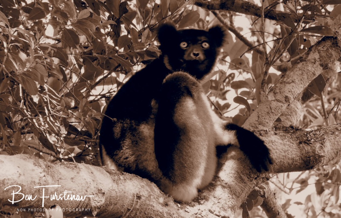 Indri, keeping a close eye out