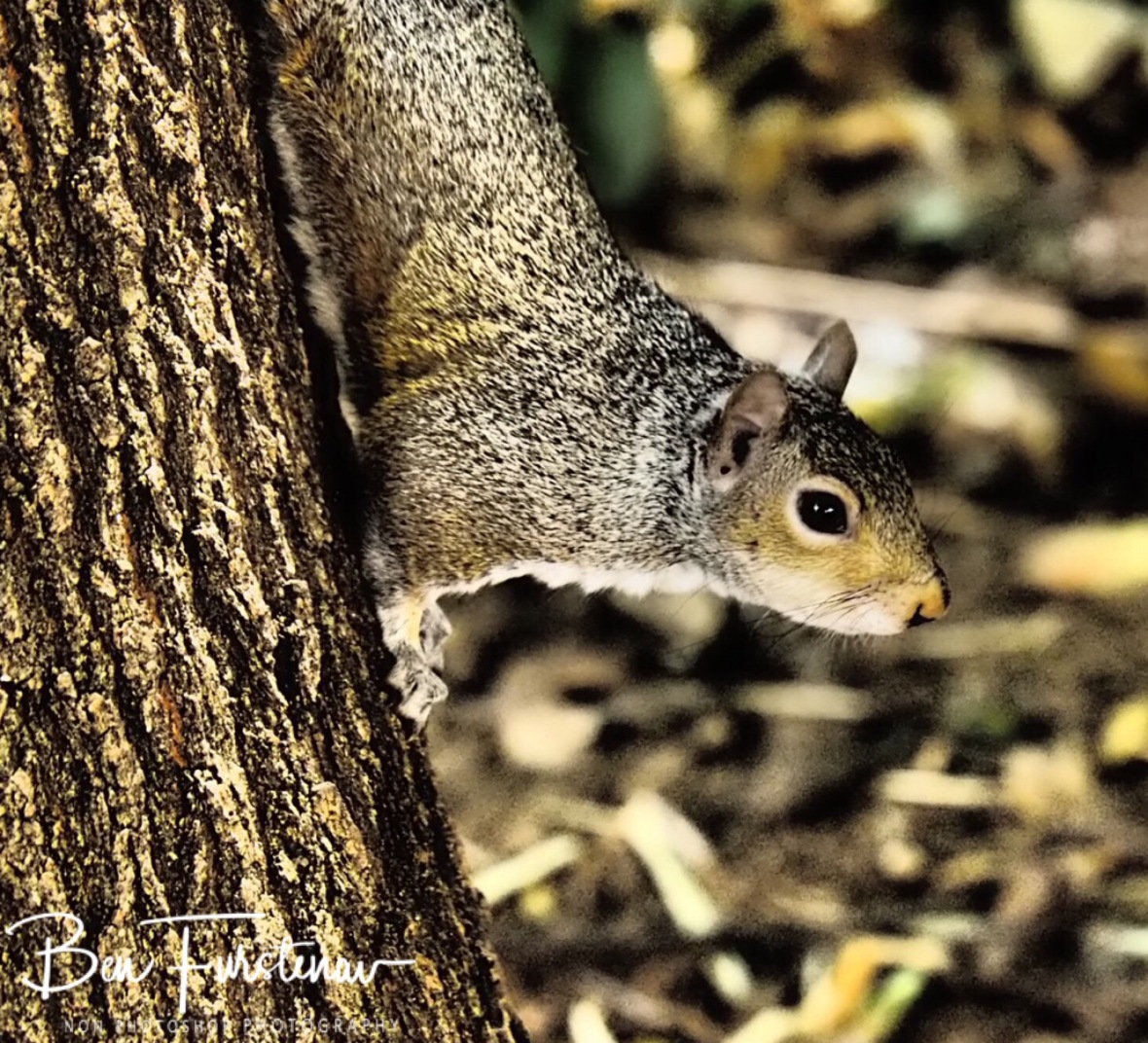 Squirrel in the park, Cape Town