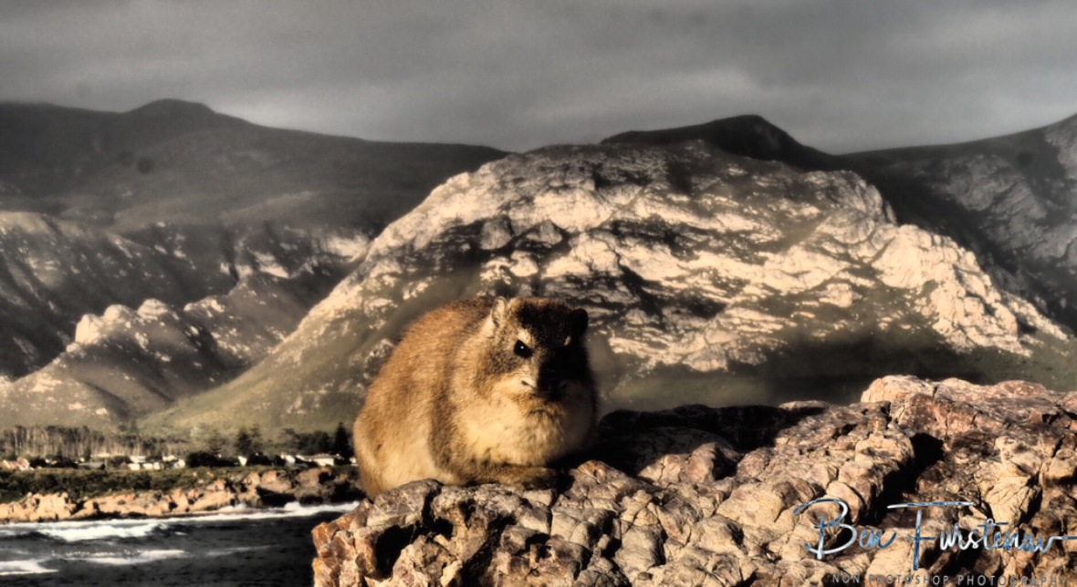 A rock hyrax enjoys the view at Hermanus