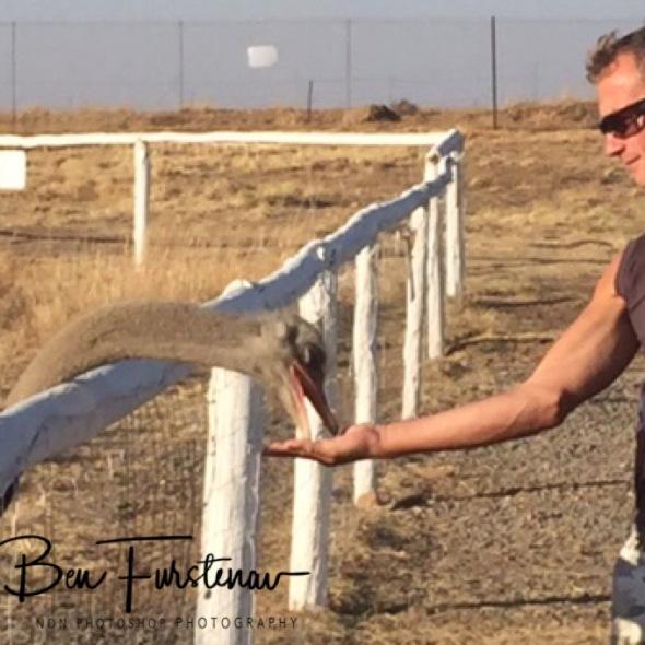 Hand feeding ostrich