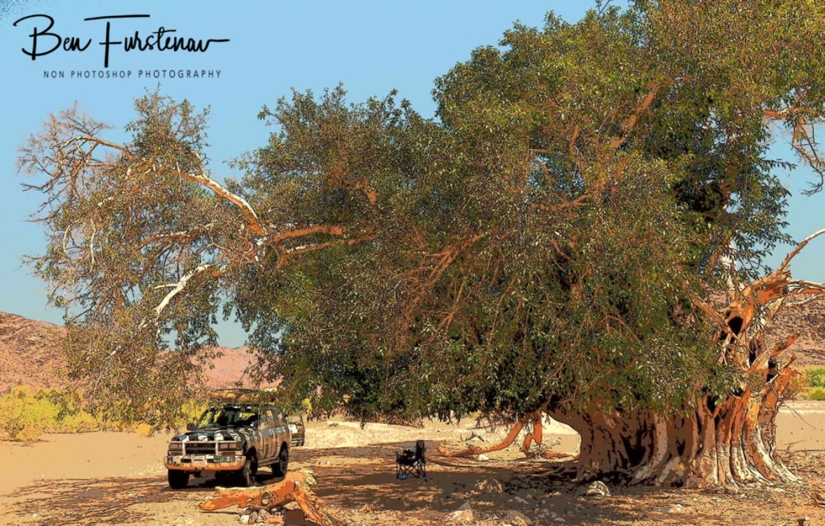 Welcoming shade under a fig tree, Oranje River