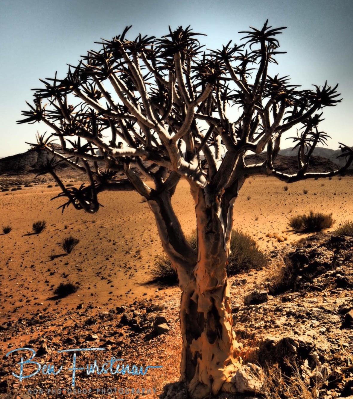 Seldom Quiver Tree, Oranje River