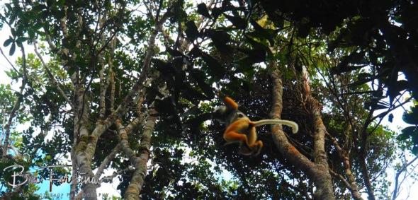 Lemur leaping between trees