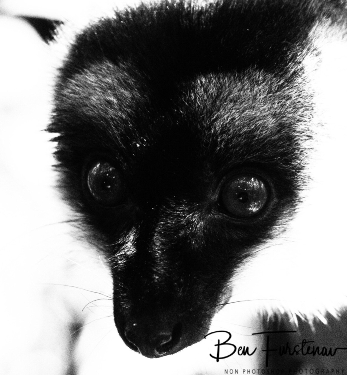 Common Brown Lemur in black and white
