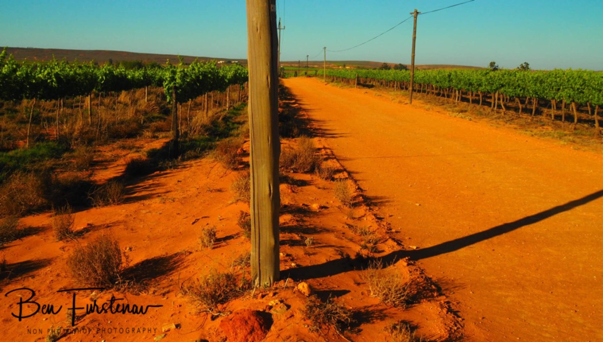 Vineyards on red sand, Vredenburg