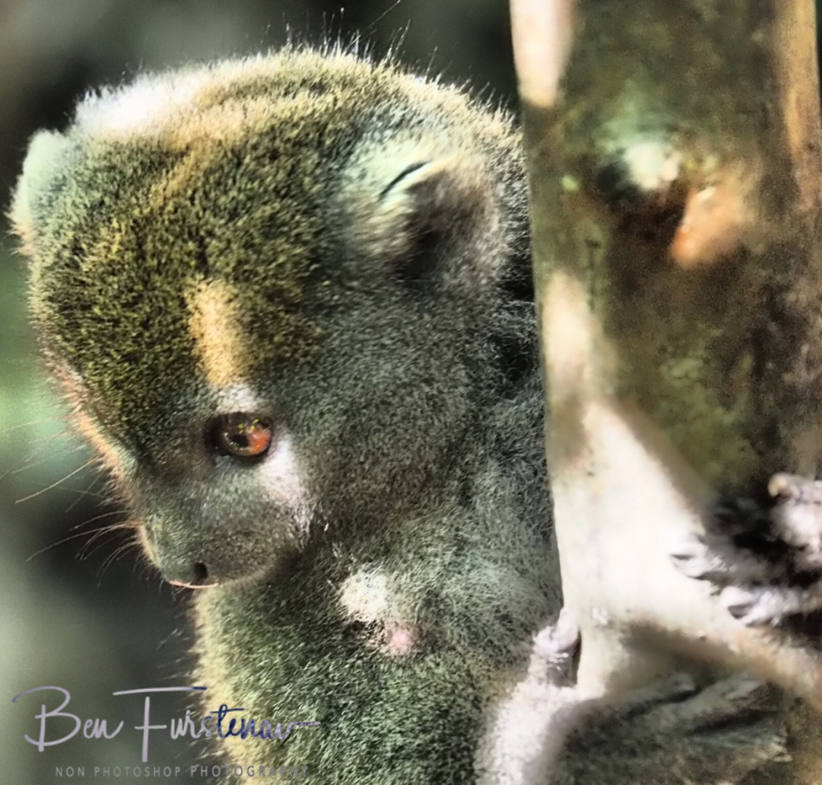 Bamboo Lemurs know what they want