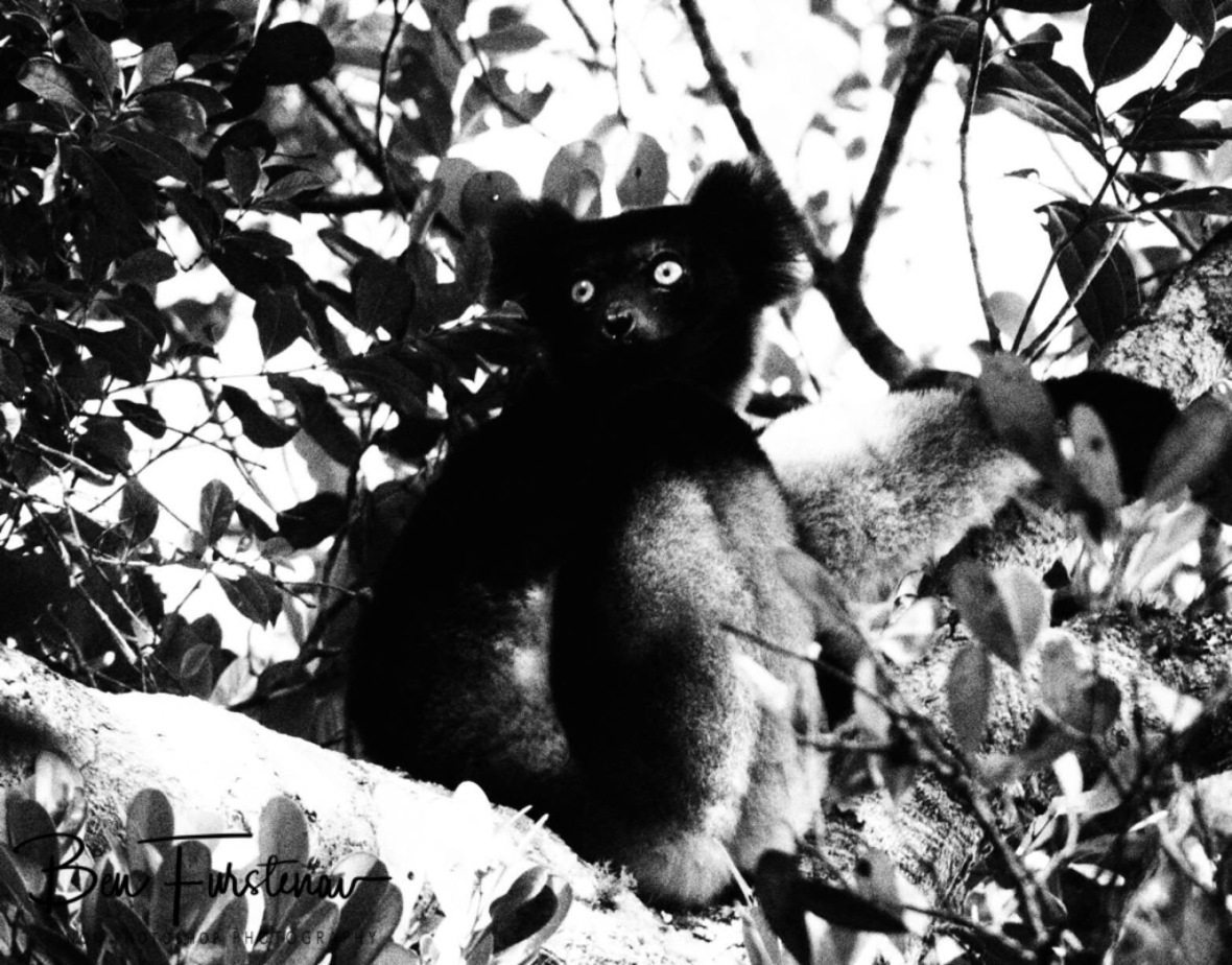 Indri, Black and white