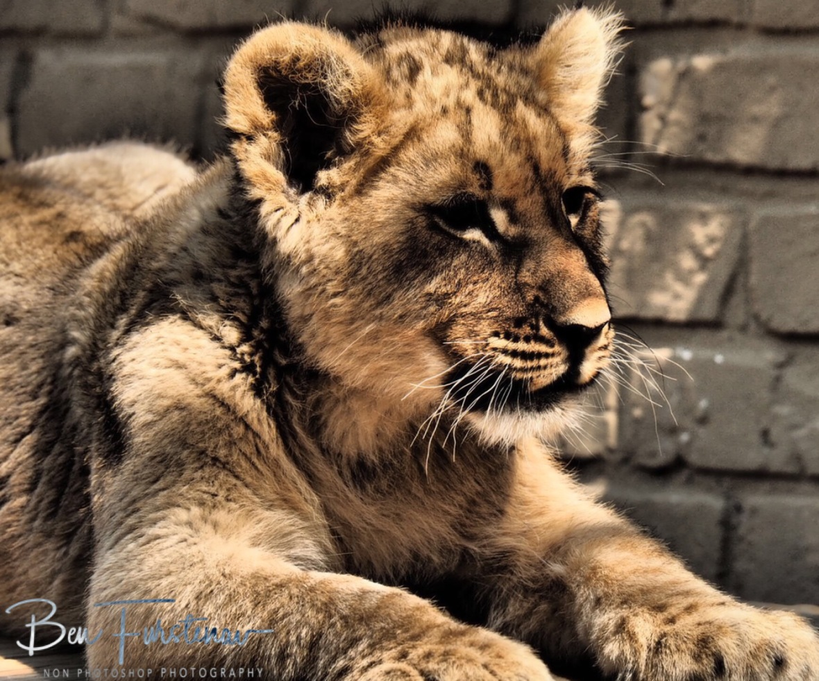 Lion queen to be