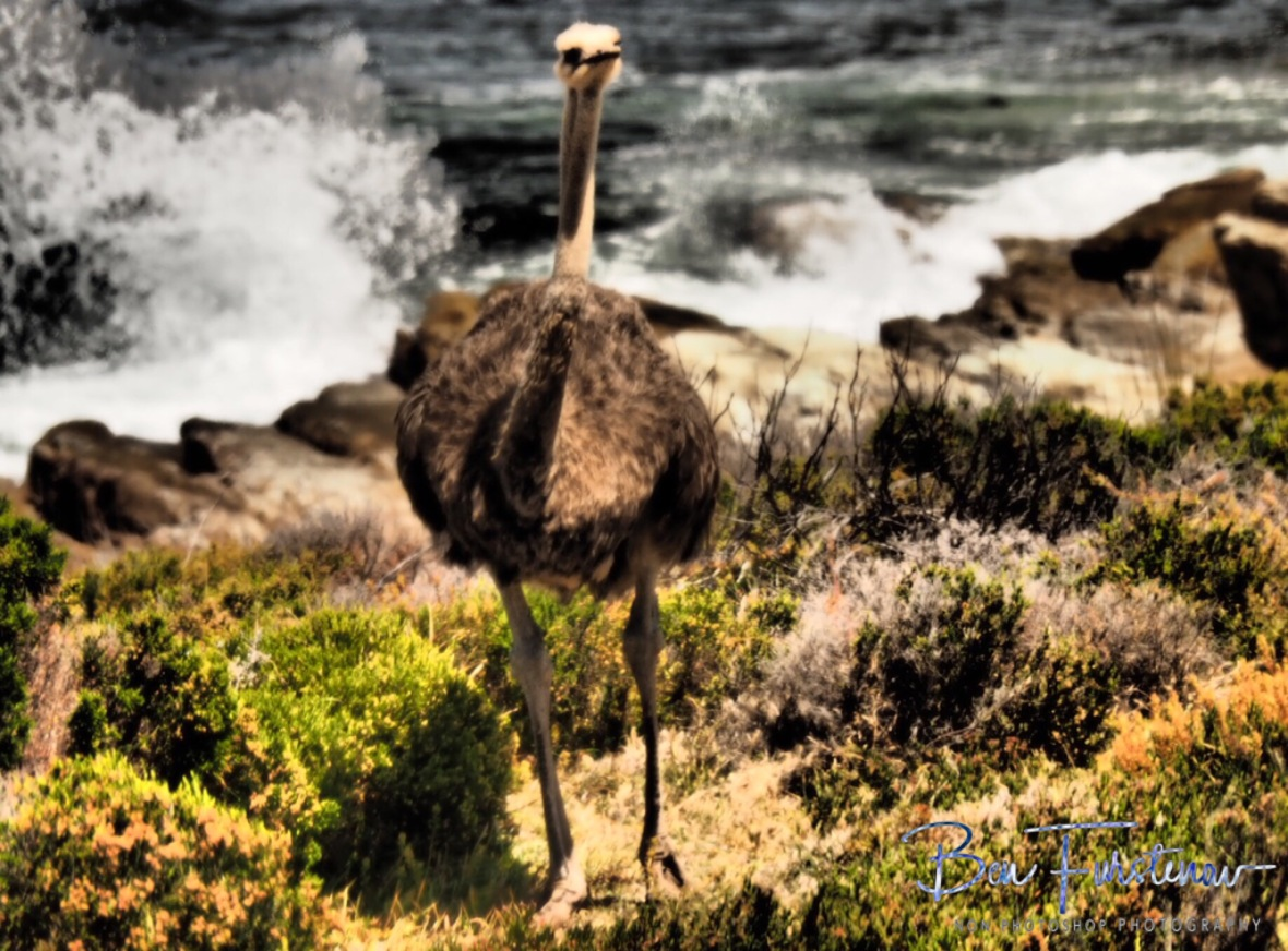 Female ostrich along the coastline of cape of good hope