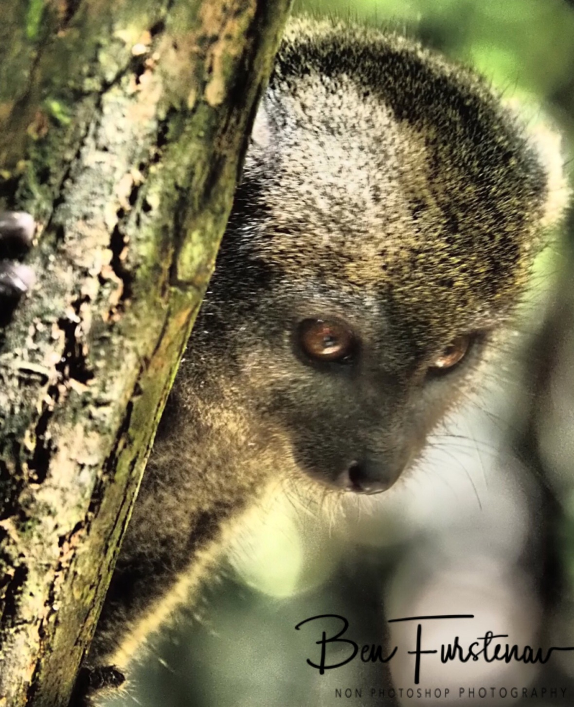 Bamboo Lemur, Eyes on bananas