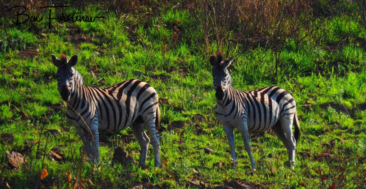 A herd of zebras