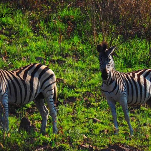 A herd of zebras
