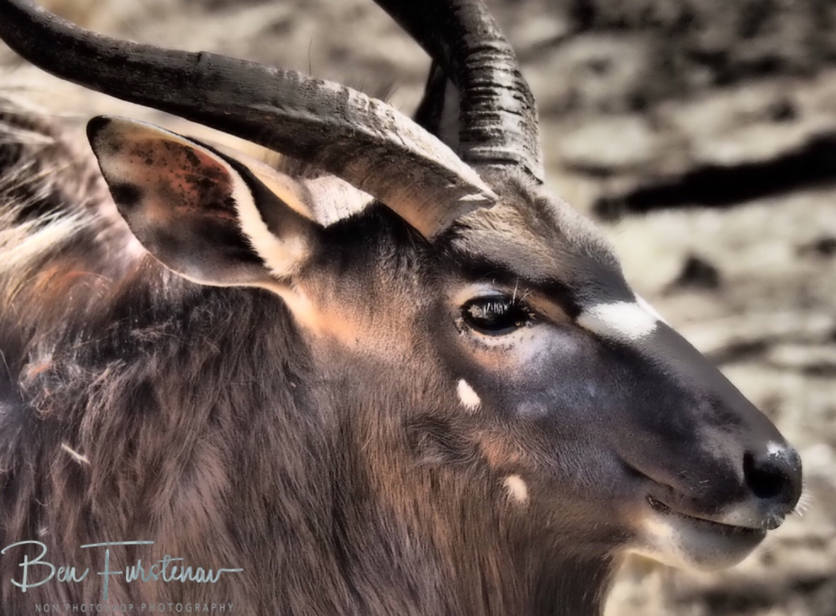 Kudu close up