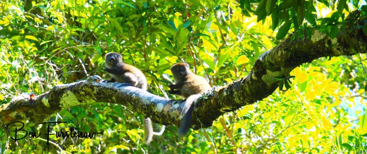 Bamboo Lemurs