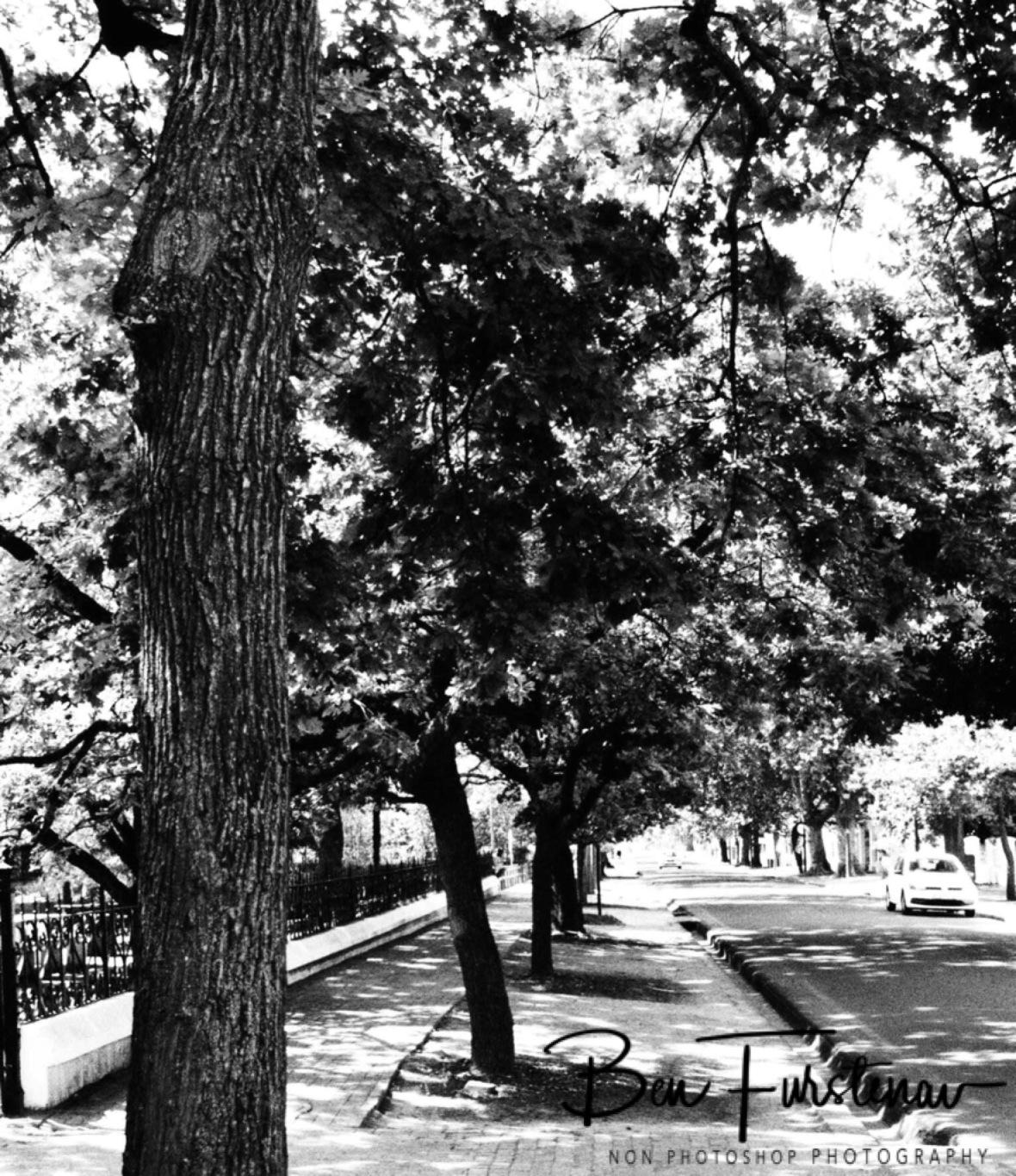 Oak tree alley along streets in Stellenbosch
