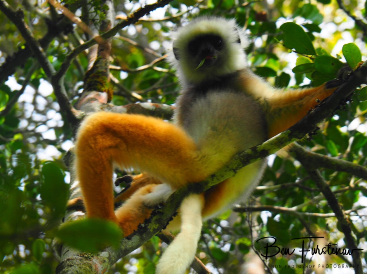 Golden Sifaka, comfy as can be