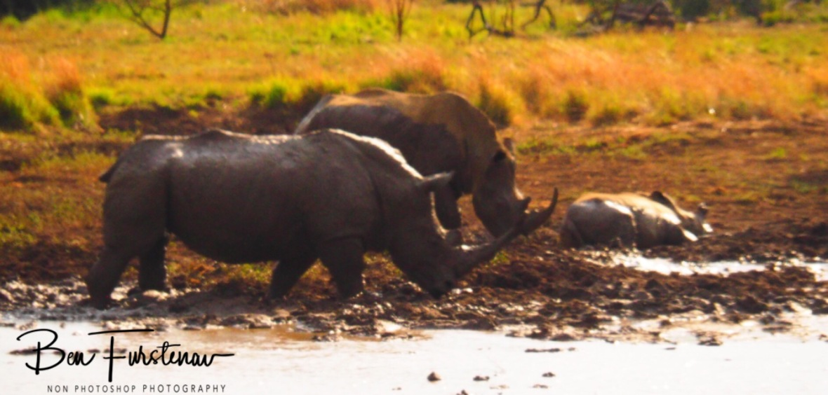 Nothing like a rhino mud bath, Pilansberg National Park