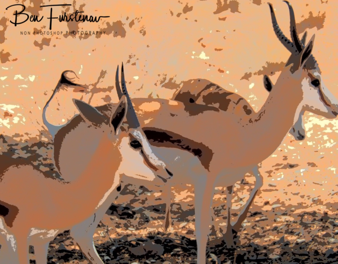 Springbok are the most prolific Antilope at Kgalagadi Transfrontier Park