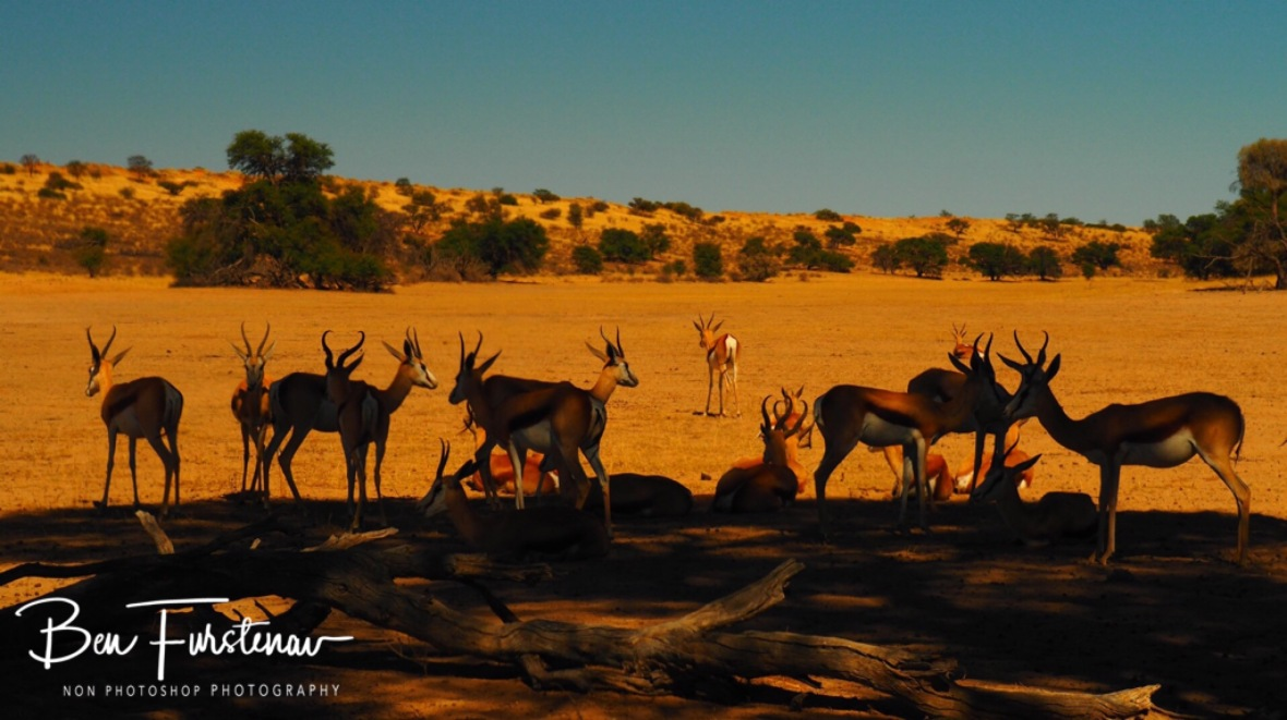 Springbok taking shelter from a sweltering sun early morning, it's gonna be hot hot today, Kgalagadi Transfrontier Park