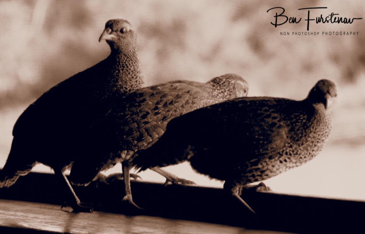 Pheasant wildlife spotters, Pilansberg National Park