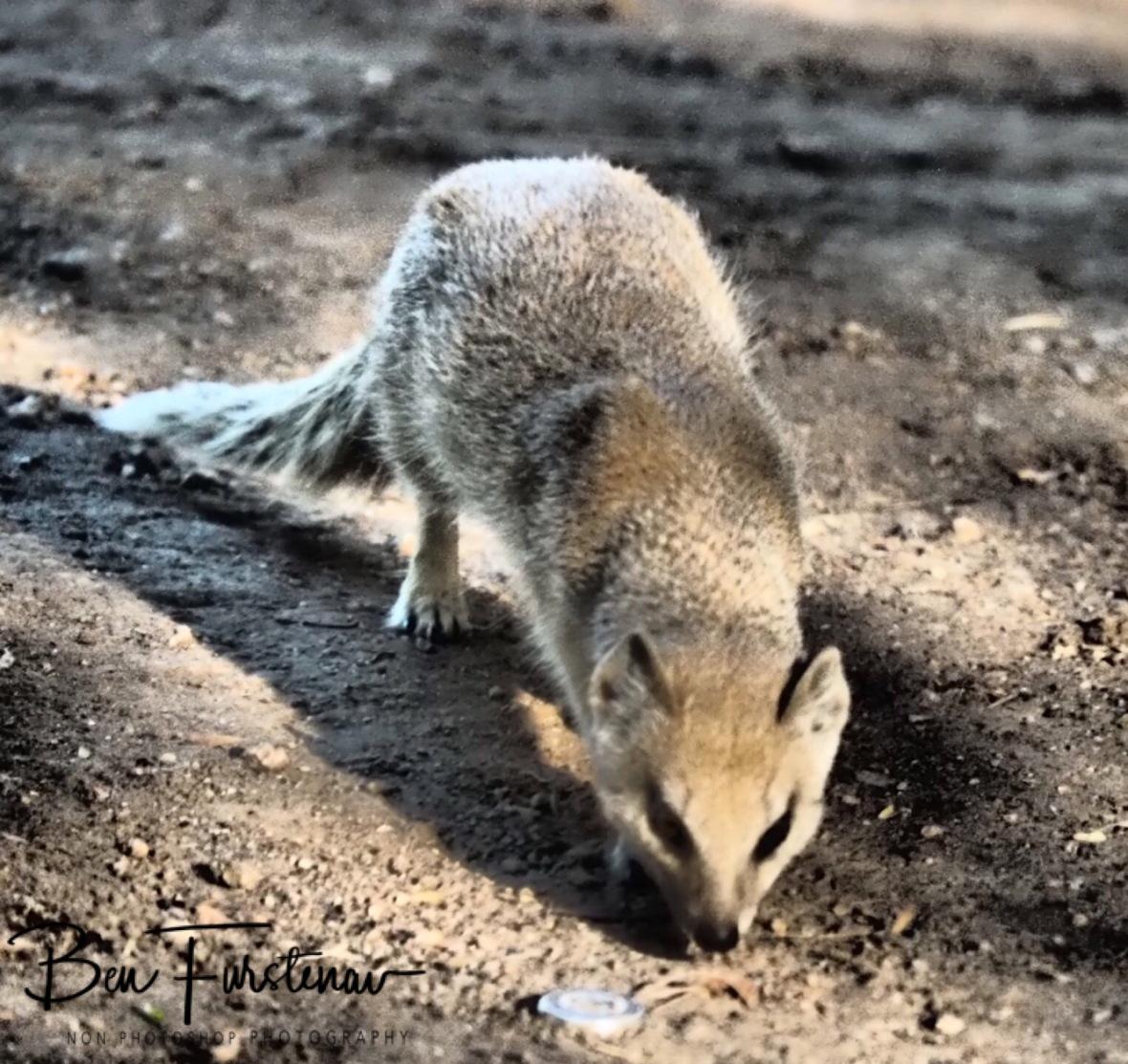 Mongoose, Augrabis Falls