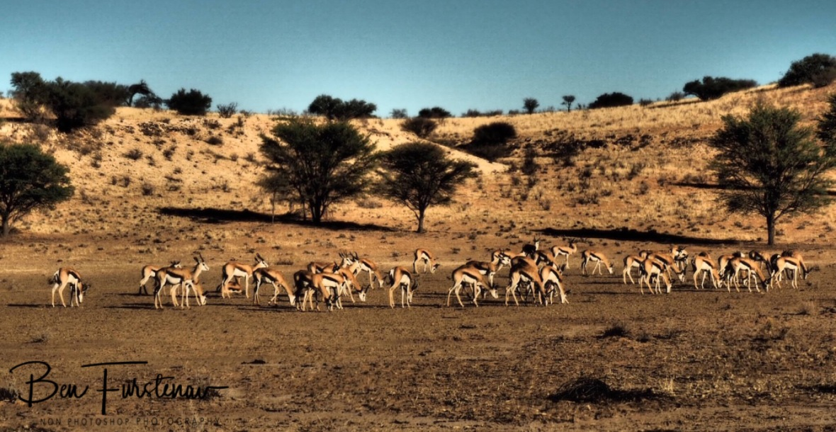 A herd of Springbok roaming desert plains at Kgalagadi Transfrontier Park