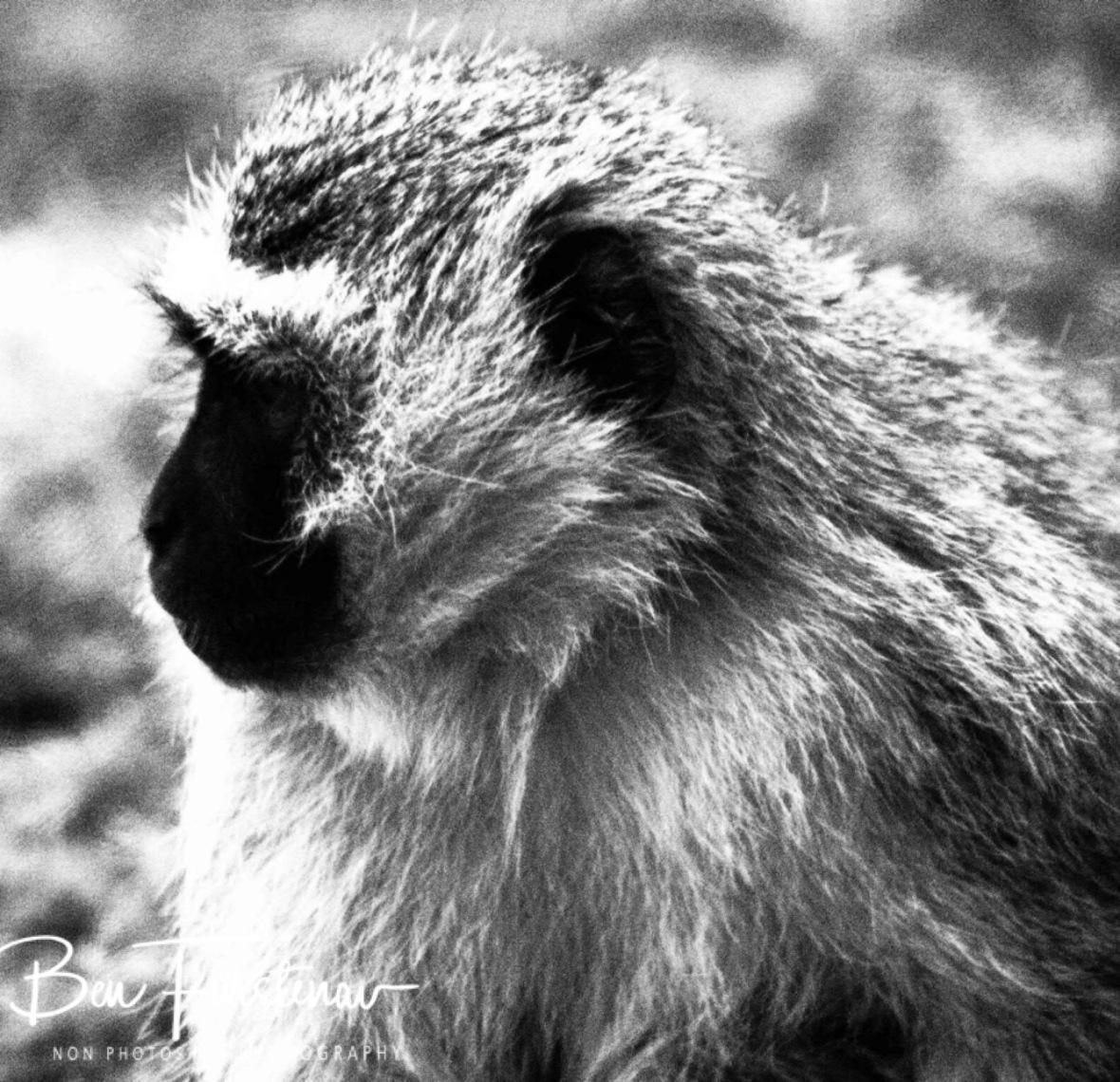 Vervet Monkey, Augrabis Falls