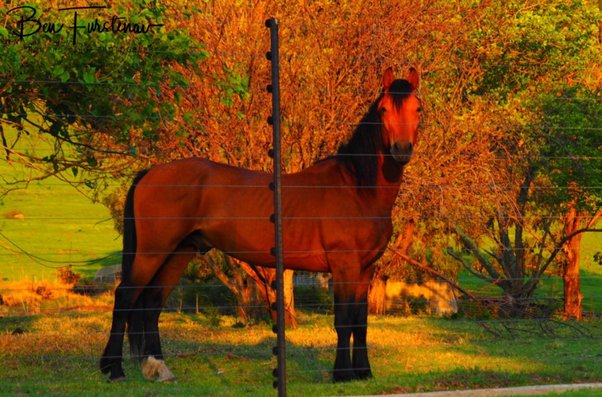 The stallion of the farm, Maarmanshoek, Free State