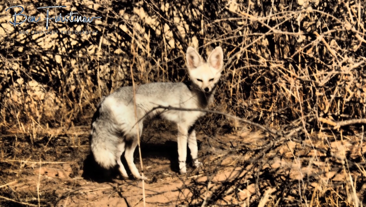Mother Cape Fox is aware off potential dangers, Kgalagadi Transfrontier Park
