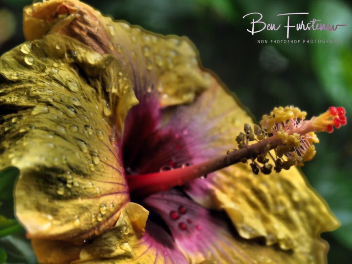 Wet Hibiscus flower, Dundee