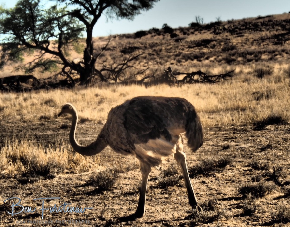 A female ostrich grazing the plains, Kgalagadi Transfrontier Park