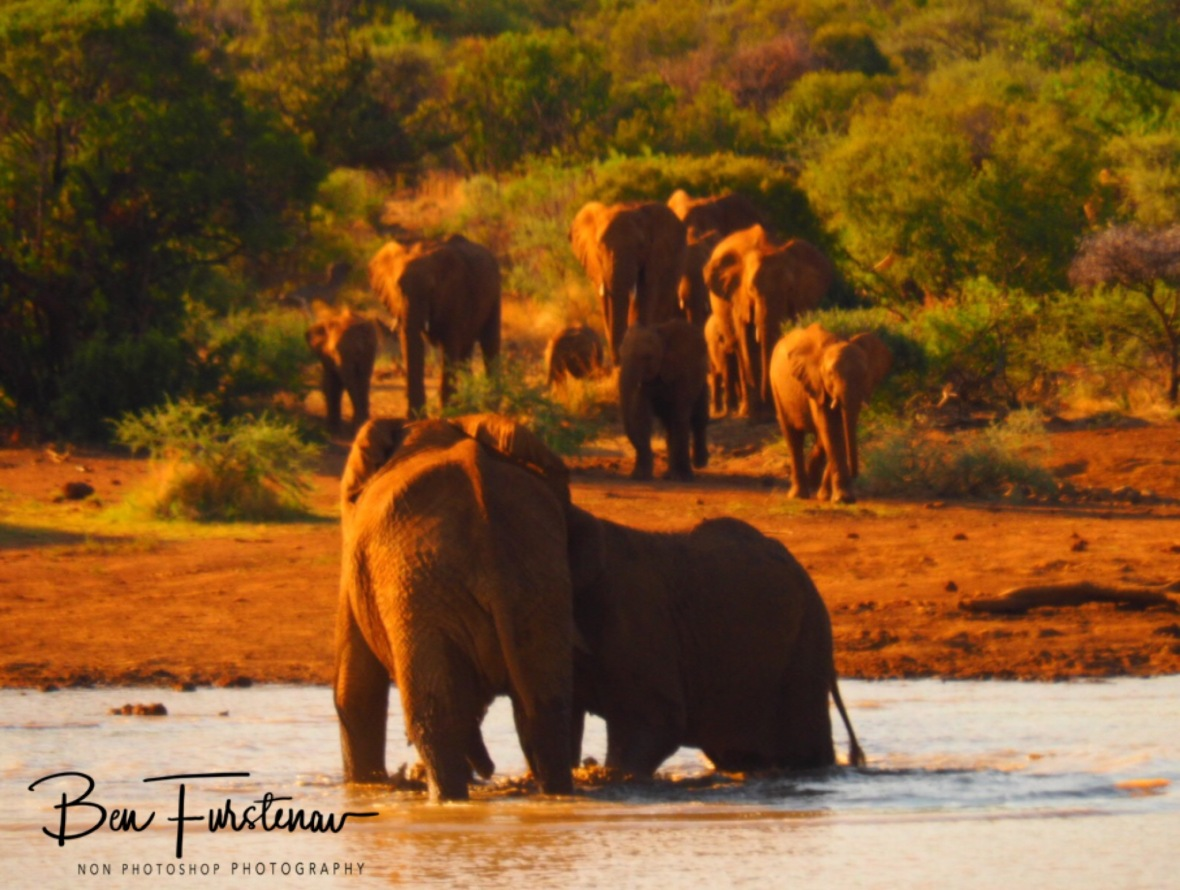 Elephantastic Parade to the waters, Pilansberg National Park
