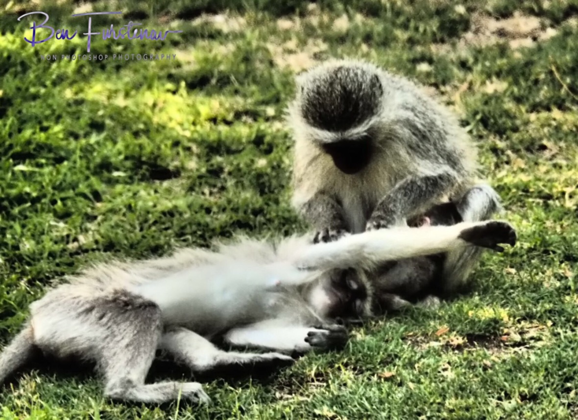 Vervet monkey business, Augrabis Falls