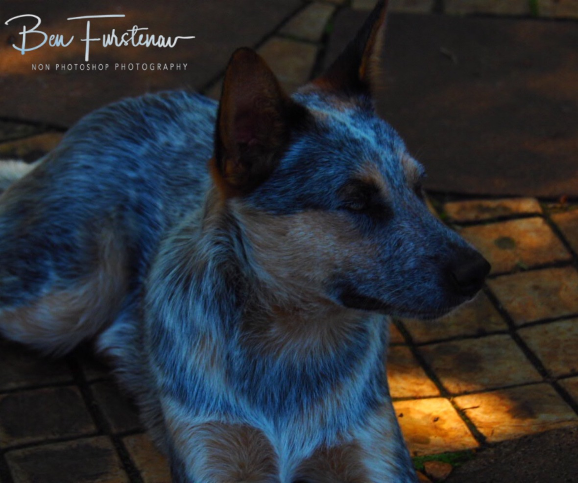 Blue Heeler puppy Jakkal, Newcastle