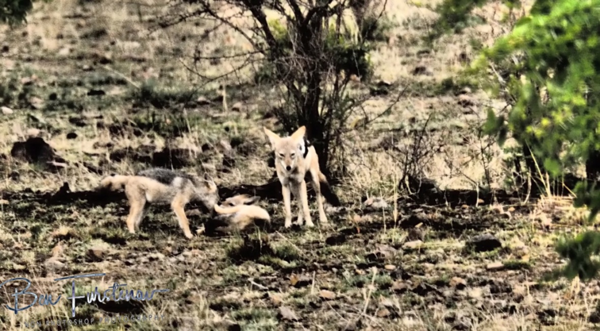 Jackal and Hyde, Pilansberg National Park