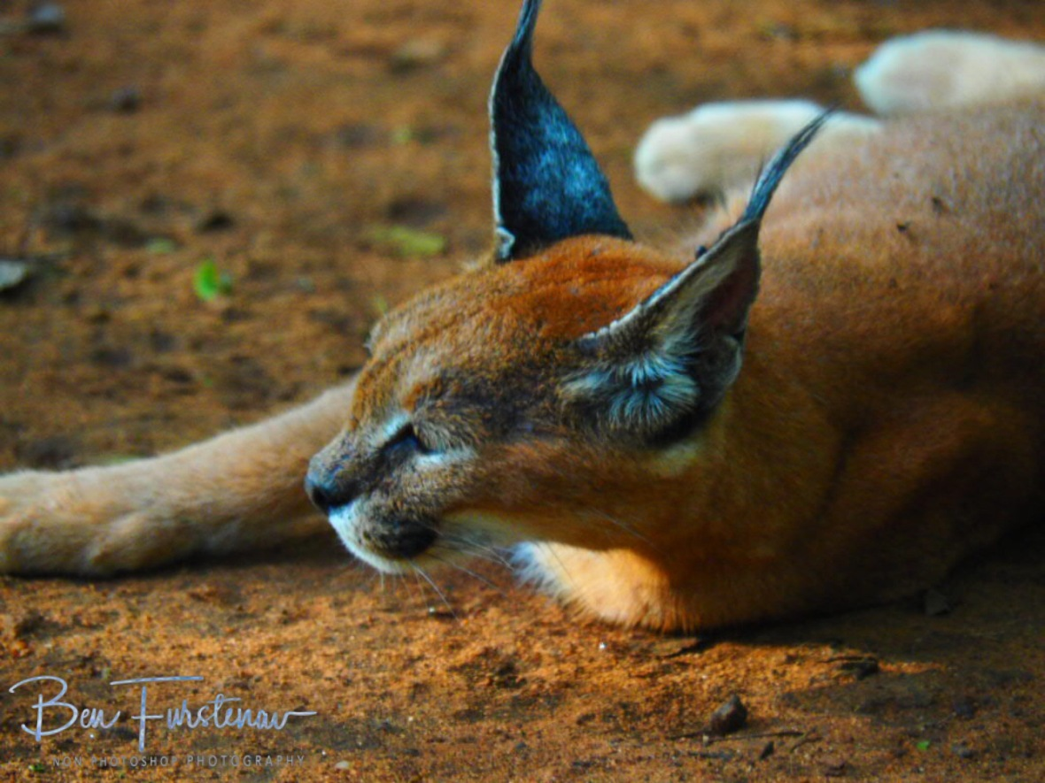 Caracal Lulu having a break, Newcastle