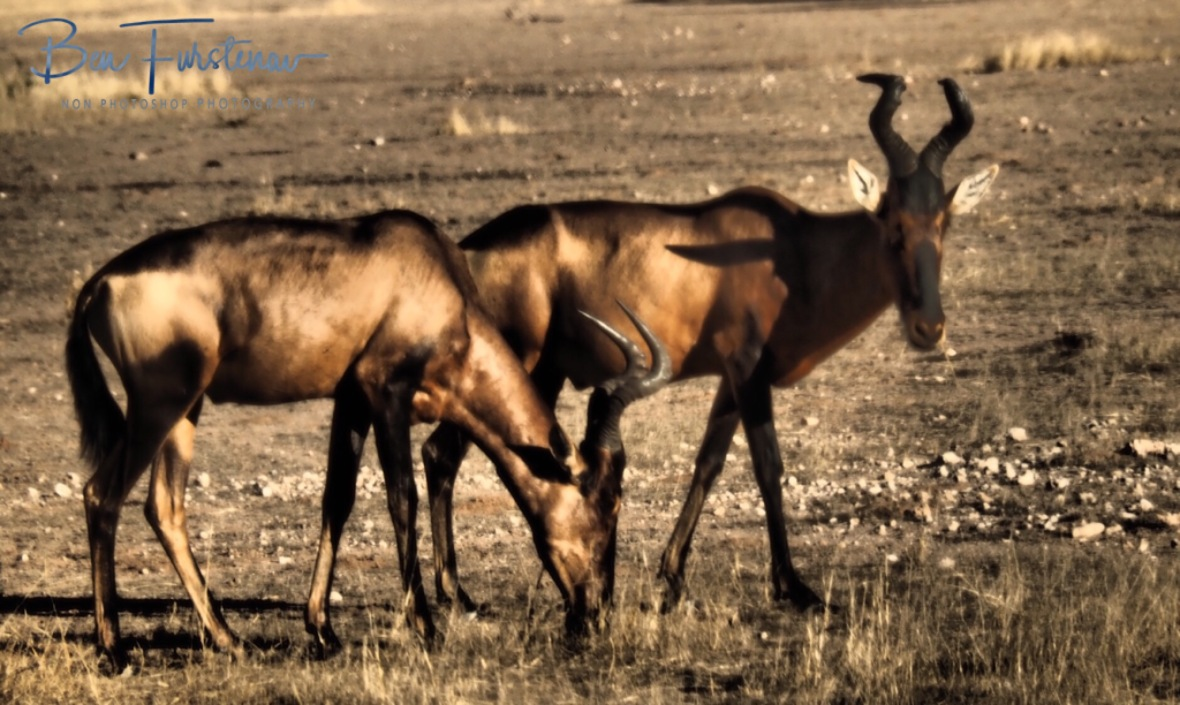 Hartebeest bronze coloured sun reflections, Kgalagadi Transfrontier Park