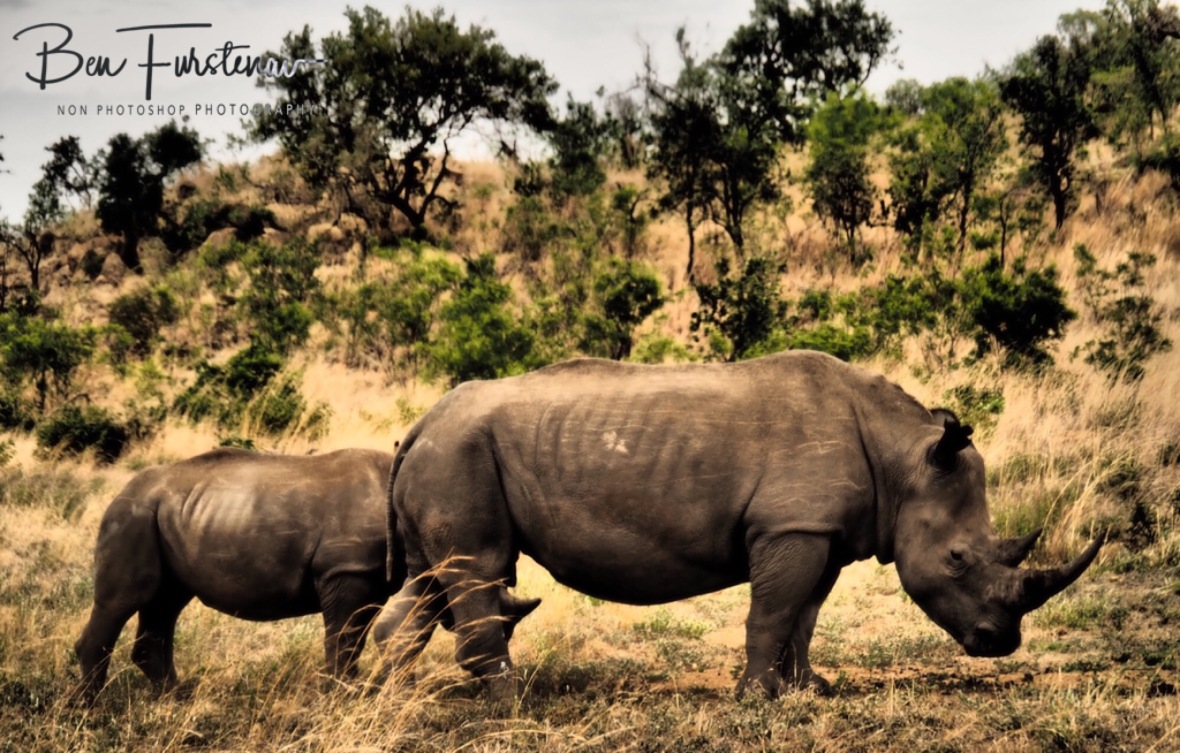 Mother and calf rhino in a dangerous world, Pilansberg National Park