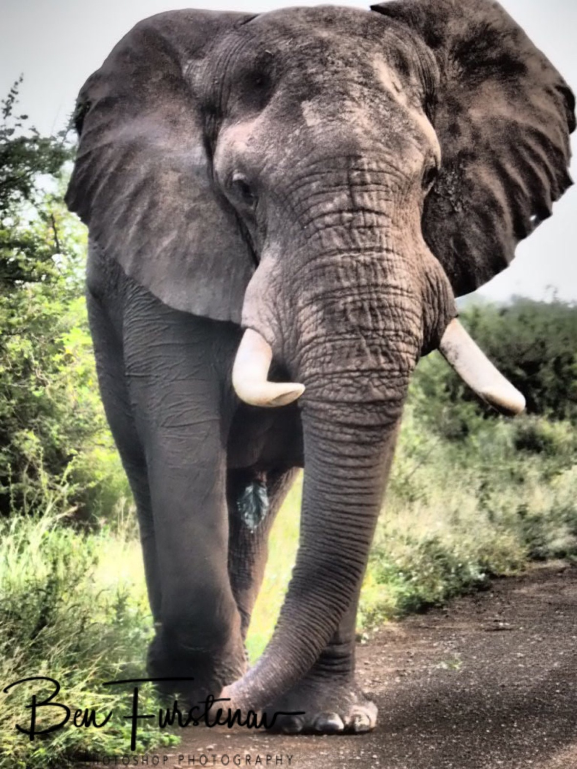 A colossal elephant bull, Kruger National Park