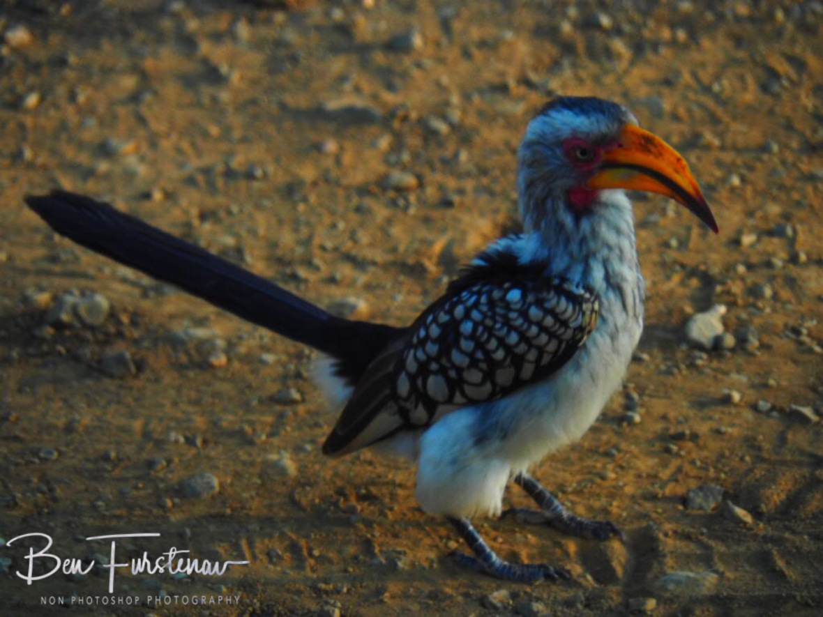 Grey Hornbill checking in, Kruger National Park