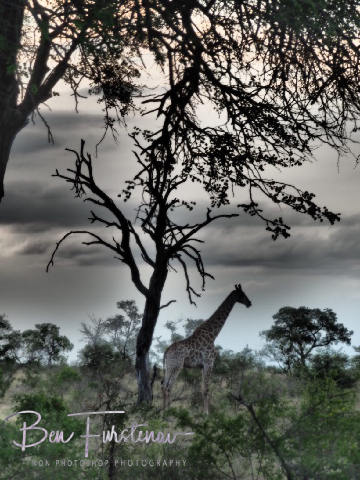 Motionless Giraffe, Kruger National Park