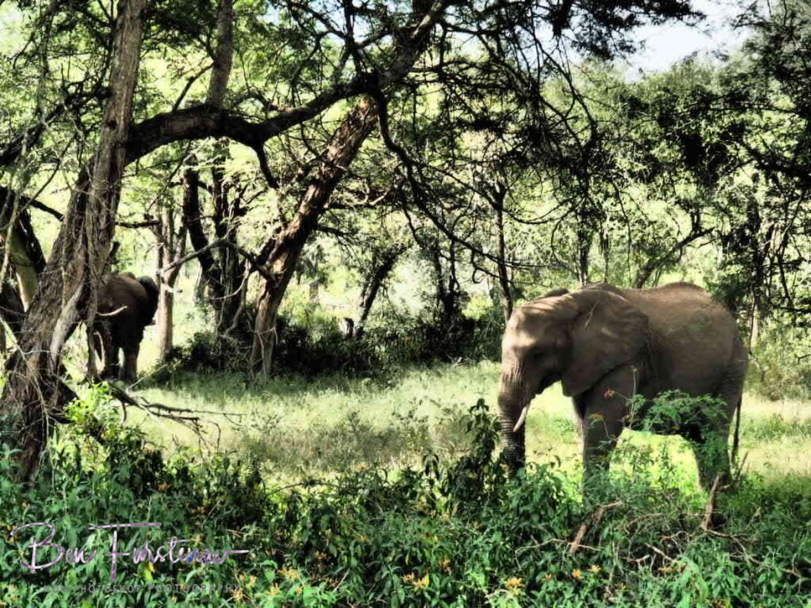 Grazing along acacias, Kruger National Park
